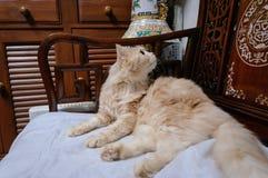 Старый кот смотрит что-то прежде чем он идя спать в полночи Стоковые Фотографии RF
