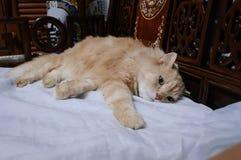 Старый кот смотрит что-то прежде чем он идя спать в полночи Стоковые Фото