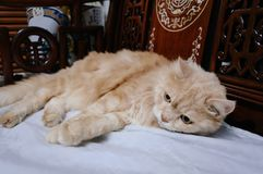 Старый кот смотрит что-то прежде чем он идя спать в полночи Стоковое Изображение RF