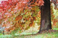 Старый красивый красный клен в парке осени Стоковое Фото