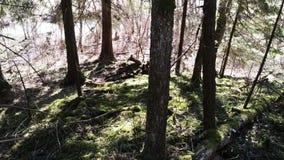 Старый лес с ключевой водой сток-видео