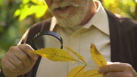 Старый любопытный человек смотря на лист через лупу, научный проект сток-видео