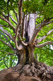 Старый могущественный бук в парке Стоковая Фотография RF