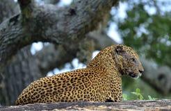 Старый мужчина леопарда на камне Стоковая Фотография