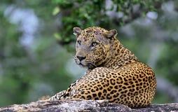 Старый мужчина леопарда на камне Стоковое фото RF