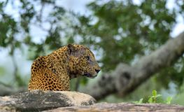Старый мужчина леопарда с шрамами на стороне лежит на утесе Стоковая Фотография RF