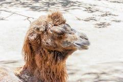 Старый отдыхать Bactrian верблюда лежа на том основании Стоковая Фотография