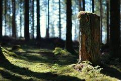 Старый отрезка ствол дерева вниз в лесе ели Стоковое Изображение RF
