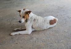 Старый отдыхать собаки Стоковое Фото