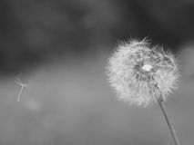Старый одуванчик с семенами летания Стоковые Изображения RF
