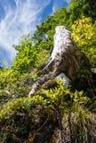 Старый пень в природе hallstatt Австралии Стоковая Фотография RF
