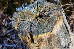 Старый пень дерева в парке Стоковое Фото