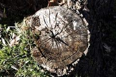 Старый пень дерева Стоковая Фотография
