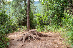 Старый пень на пути в лесе Стоковое Изображение RF