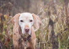 Старый портрет собаки vizsla Стоковое фото RF