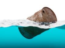 Старый ржавый бочонок плавая на волны Стоковая Фотография