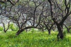 Старый сад яблока Стоковая Фотография