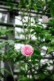 Старый сад-дом крытый с экзотическим розовым цветком Стоковая Фотография RF
