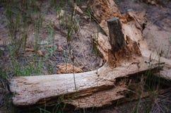 Старый свободный от кор журнал был вытравлен жуками коры Орнамент древовидной структуры уникальный на журнале стоковое изображение