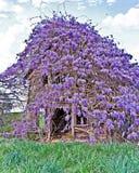Старый сельский дом покрытый с глицинией Стоковые Фотографии RF