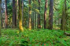 Старый след природы рощ в олимпийском национальном парке, Вашингтоне, Соединенных Штатах стоковые изображения rf