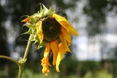 старый солнцецвет Стоковые Изображения