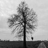 Старый солитарный дуб дерева стоковая фотография rf