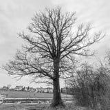 Старый солитарный дуб стоковая фотография