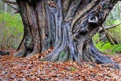 Старый ствол дерева в шотландском лесе стоковое изображение