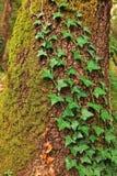 старый ствол дерева сосенки Стоковые Изображения
