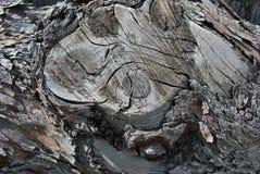 Старый ствол дерева тополя с расшивой, органической текстурой предпосылки Стоковая Фотография RF
