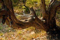 старый ствол дерева Стоковые Изображения RF