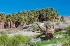 Старый ствол дерева лежит в пустыне некоторыми пальмами Стоковое фото RF