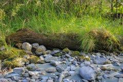 Старый ствол дерева на береге реки, vegetated с мхом и gras Стоковое фото RF