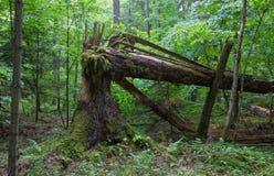 Старый сломанный елевый мох дерева обернул и пень Стоковые Изображения