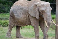 старый слон Стоковые Фото