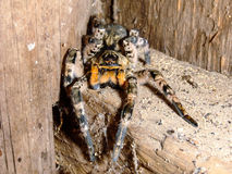 Старый тарантул паука Стоковое Изображение