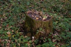 Старый текстурированный пень дерева Стоковое Изображение