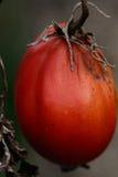 Старый томат Стоковое фото RF