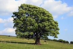 Старый дуб в поле Стоковые Изображения