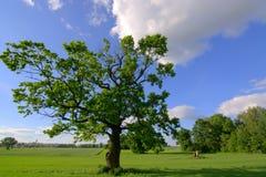 Старый дуб Стоковое Изображение