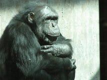 Старый думать шимпанзе Стоковые Фотографии RF