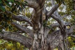 Старый фикус смоквы залива Moreton в буквальном смысле слова рос с Беверли-Хиллз с годами Стоковое Изображение