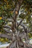Старый фикус смоквы залива Moreton в буквальном смысле слова рос с Беверли-Хиллз с годами Стоковая Фотография