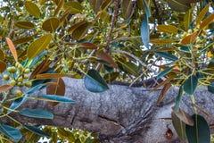 Старый фикус смоквы залива Moreton в буквальном смысле слова рос с Беверли-Хиллз с годами Стоковые Изображения