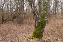 Старый хобот березы покрытый мхом в лесе стоковая фотография