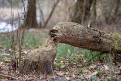 Старый хобот и ствол дерева отрезали бобром Деревья и растительность на банках озера стоковое изображение rf