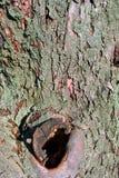 Старый хобот яблони с отверстиями и мхом, предпосылкой стоковое фото