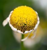 Старый цветок маргаритки в природе Стоковое Фото