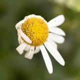 Старый цветок маргаритки в природе Стоковые Изображения